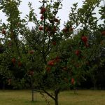 chorleywood-apples1